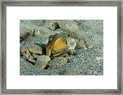 Banded Jawfish Incubating Eggs In Mouth Framed Print by Andrew J. Martinez