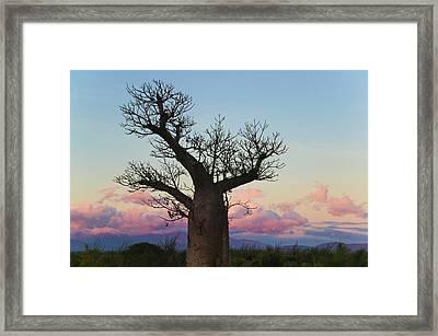 Baobab Trees (adansonia Framed Print by Keren Su