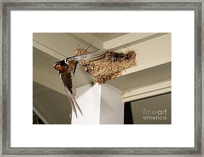 Barn Swallow Framed Print by Scott Linstead