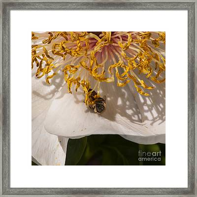 Bee On White Peony Framed Print by Mandy Judson