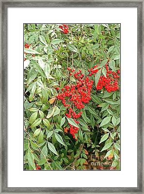 Berry Bush Framed Print by Kathleen Struckle