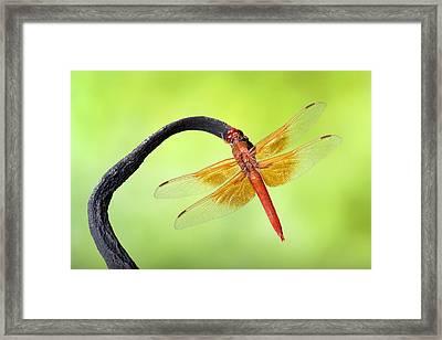 Big Red Skimmer Dragonfly Framed Print by Robert Jensen