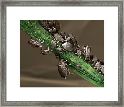 Black Aphid Colony Framed Print by Clouds Hill Imaging Ltd