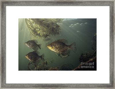Black Crappie Trio Framed Print by Engbretson Underwater Photography