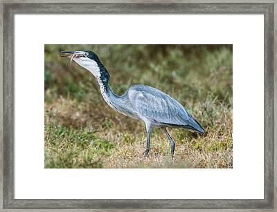 Black Headed Heron Framed Print by Peter Chadwick