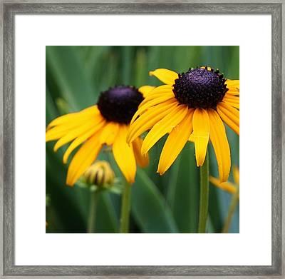 Blackeyed Susans Framed Print by Bruce Bley