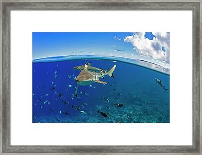 Blacktip Reef Sharks  Carcharhinus Framed Print by Dave Fleetham