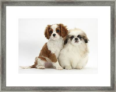 Blenheim Cavalier King Charles Spaniel Framed Print by Mark Taylor