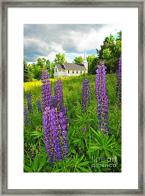 Blessed Are The Lupine II Framed Print by Catherine Reusch  Daley