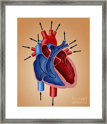 Blood Flow Diagram Framed Print by Monica Schroeder / Science Source