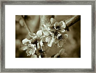 Blossoms Framed Print by Frank Tschakert