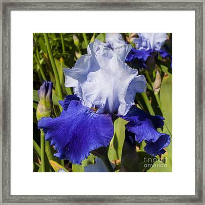Blue And White Iris Framed Print by Mandy Judson
