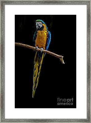 Blue-and-yellow Macaw Framed Print by Dianne  Paul