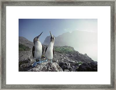 Blue-footed Booby Pair Galapagos Islands Framed Print by Tui De Roy