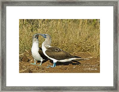 Blue-footed Booby Pair Framed Print by William H. Mullins