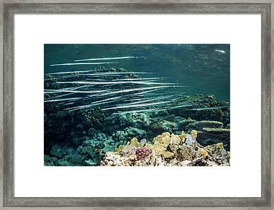 Bluespotted Cornetfish Framed Print by Georgette Douwma