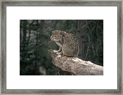 Bobcat Lynx Rufus In Winter Snow Framed Print by Ron Sanford