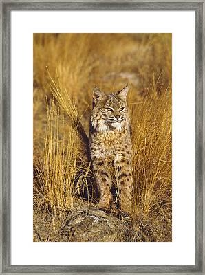 Bobcat Framed Print by Tom Vezo