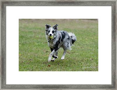 Border Collie Retrieving A Ball Framed Print by William H. Mullins