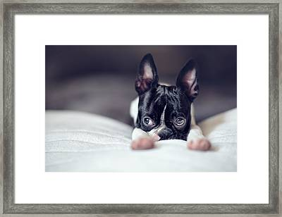 Boston Terrier Puppy Framed Print by Nailia Schwarz