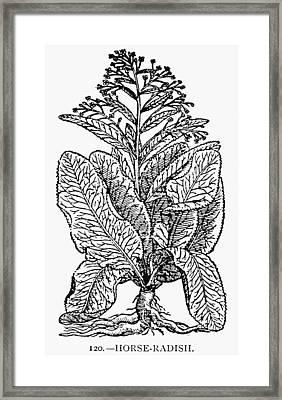 Botany Horse-radish Framed Print by Granger