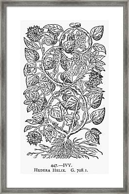 Botany Ivy, 1597 Framed Print by Granger