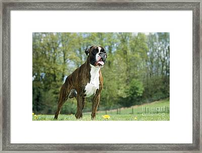 Boxer Dog Framed Print by Johan De Meester