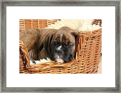 Boxer Puppy Framed Print by Mark Taylor
