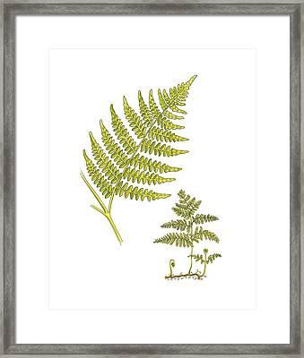 Bracken (pteridium Aquilinum), Artwork Framed Print by Science Photo Library