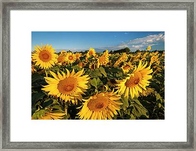 Bright Sunflowers Near Saint Remy Framed Print by Brian Jannsen