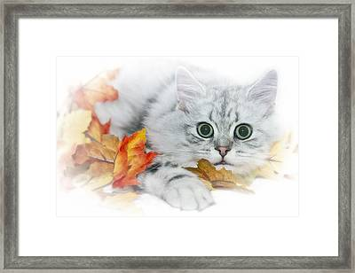 British Longhair Cat Framed Print by Melanie Viola