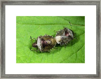 Bronze Shieldbugs Mating Framed Print by Nigel Downer