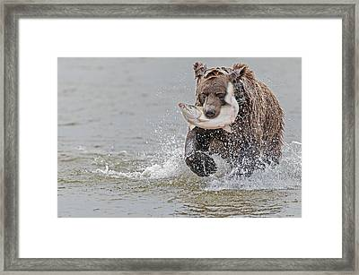 Brown Bear With Salmon Catch  Framed Print by Gary Langley