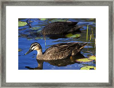 Brown Duck Framed Print by Jorgo Photography - Wall Art Gallery