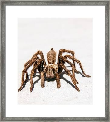 Brown Tarantula Framed Print by Robert Bales