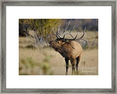 Bugling In Rmnp Framed Print by Nava Thompson
