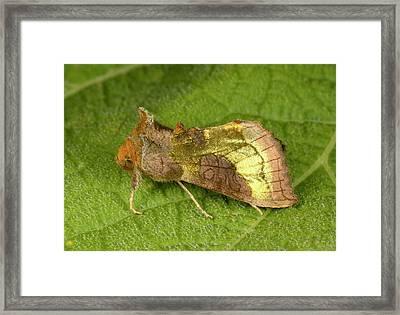 Burnished Brass Moth Framed Print by Nigel Downer