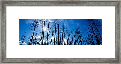 Burnt Pine Trees In A Forest, Grand Framed Print by Panoramic Images