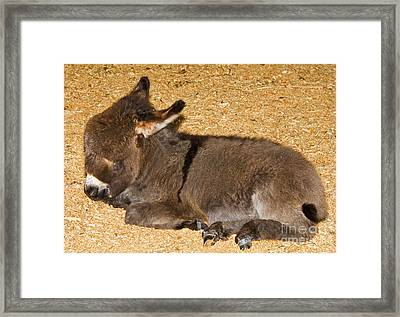 Burro Foal Framed Print by Millard H. Sharp