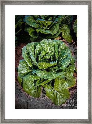 Butterhead Lettuce Framed Print by Robert Bales