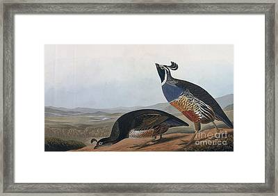 Californian Partridge Framed Print by Celestial Images