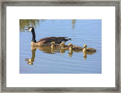 Canada Goose With Chicks Framed Print by Tom Norring