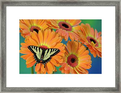 Canadian Tiger Swallowtail Butterfly Framed Print by Darrell Gulin
