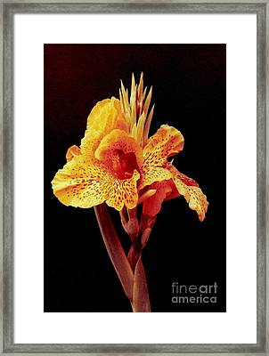 Canna Lilly Framed Print by Michael Hoard