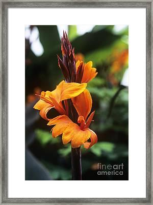 Canna Lily Roi Humbert Framed Print by Adrian Thomas