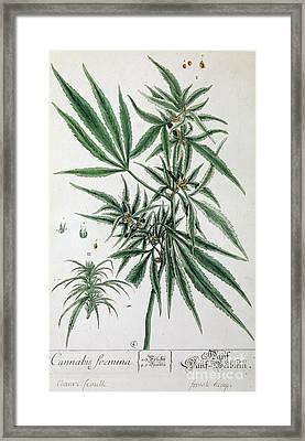 Cannabis  Framed Print by Elizabeth Blackwell