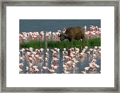 Cape Buffalo And Lesser Flamingos Framed Print by Panoramic Images