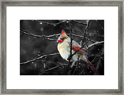 Cardinal On A Rainy Day Framed Print by Trina  Ansel