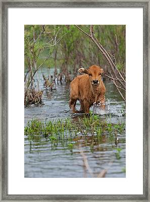 Cattle In The Flooded Danube Delta Framed Print by Martin Zwick
