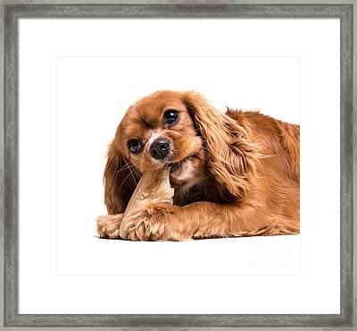 Cavalier King Charles Spaniel Puppy Framed Print by Edward Fielding